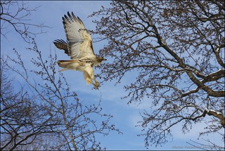 hawk arriving at Central Park | by Marcos Vasconcelos Photography
