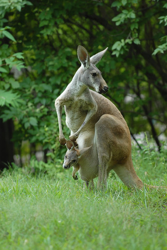 Kangaroo And Joey | by rdodson76