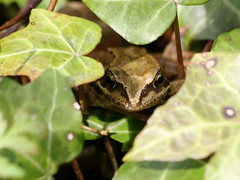 Nice try little froggy, but you can't hide from JohnnyEnglish!   :o) | by JohnnyEnglish