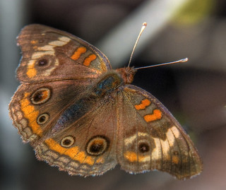Common buckeye butterfly | by jim_mcculloch