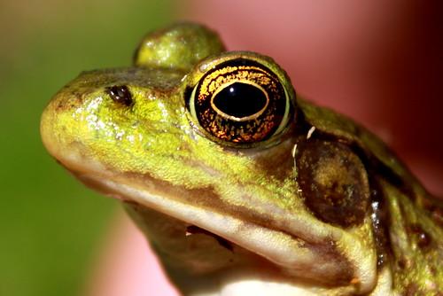 Green Frog (Rana clamitans melanota)