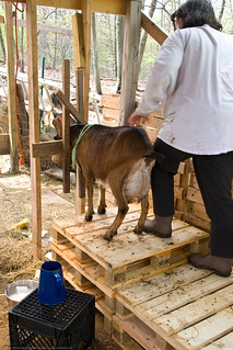 Humble Garden 2009: How to milk a goat | by nikaboyce