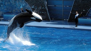 Killer Whale jumping | by milan.boers
