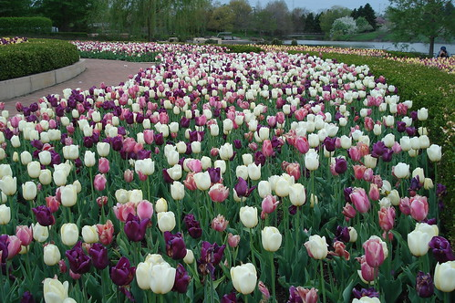 CBG tulips | by herebirdiebirdie