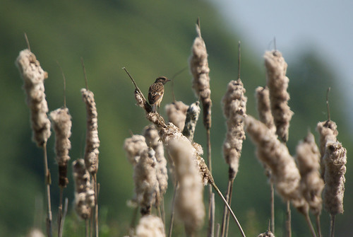 Female Stonechat, Leighton Moss RSPB May 2009 | by Gidzy
