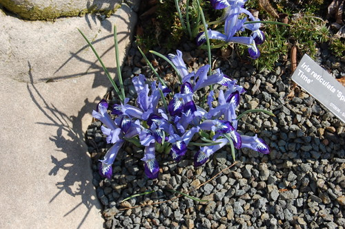 Iris reticulata 'Spring Time' | by Metricula