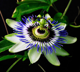 Passion Flower 34, Colorado | by sethgoldstein72