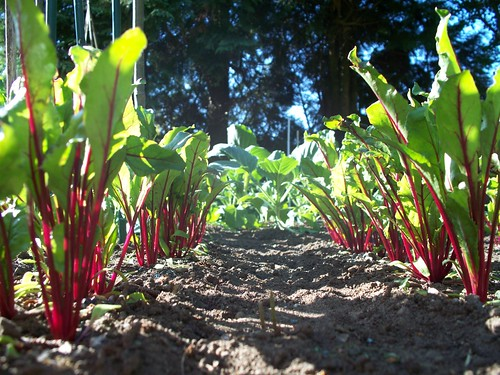 Beetroot in my veg patch | by Batsy the goth