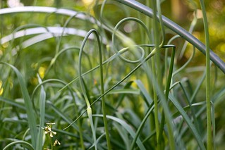 Garlic Scapes | by Chiot's Run