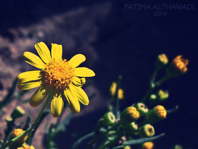 Pure yellow | by F.A.Althawadi