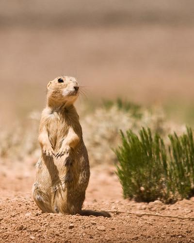 Gunnison S Prairie Dog