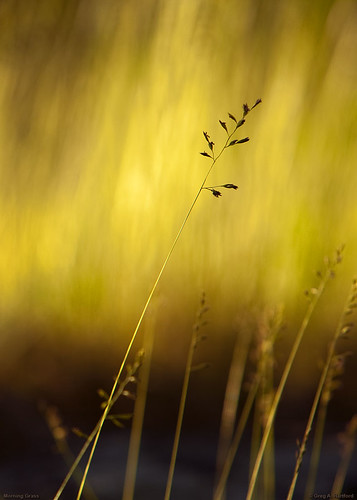 Silhouette of Grass at Sunrise | by Greg from Maine