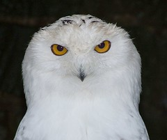 Snowy Owl | by P. Stubbs photo