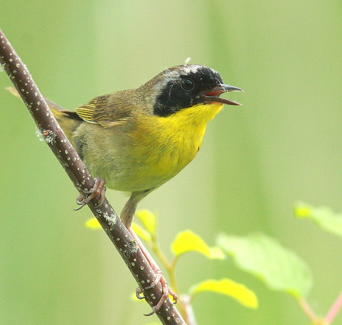 COMMON YELLOWTHROAT / PARLULINE MASQUÉE /geothlypis trichas | by Mononc' Paul