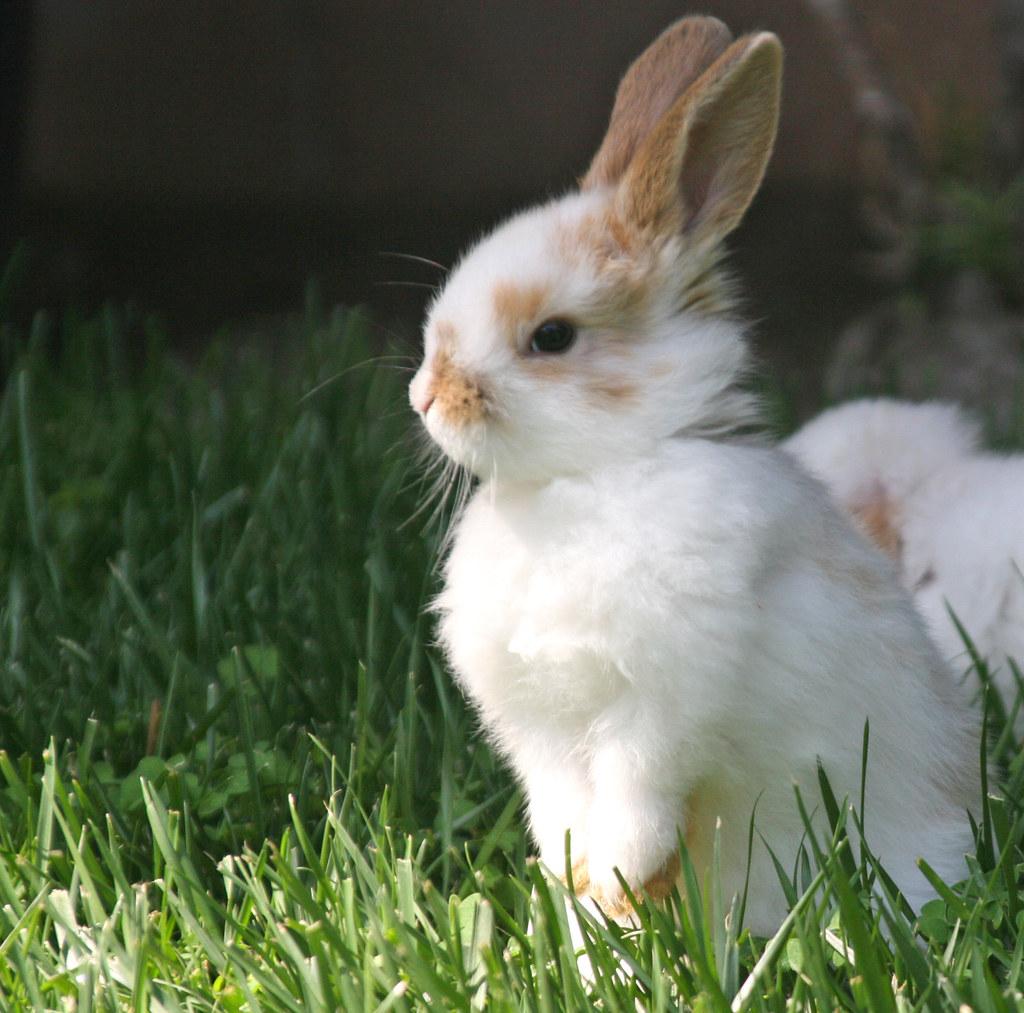 cute bunny mountainpugs flickr