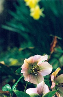 hellebore | by Caroline Collett
