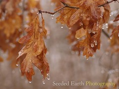 Oak Leaves, Dripping | by bo mackison