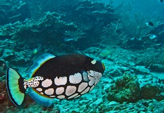 Clown Triggerfish - Balistoides conspicillum | by divemecressi