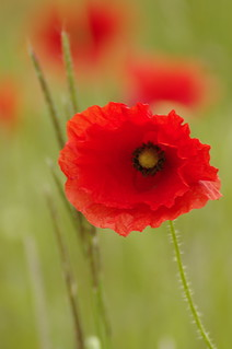 lone poppy | by Rich3591