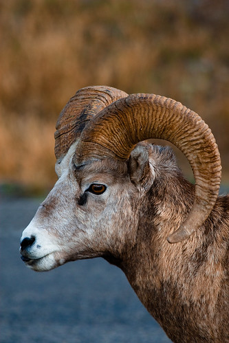 Mountain Sheep in Alberta | by J B Hildebrand