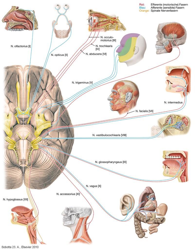 Hirnnervern (Nn_craniales)   Sobotta Atlas der Anatomie des Menschen ...