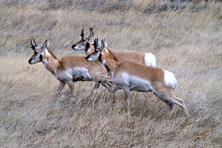 Pronghorn antelope | by gambier20
