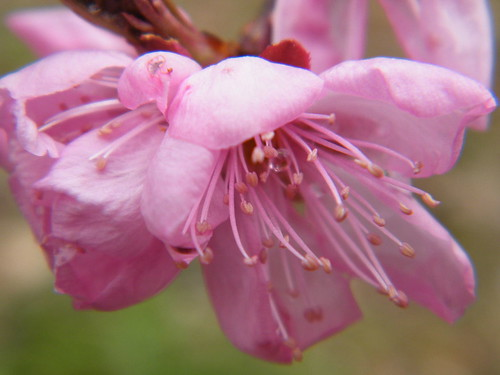 peach blossoms | by Savage Hippie Girl