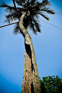 Hollow Coconut Tree | by CeeKay's Pix