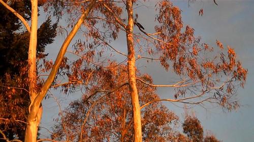 Eucalyptus Salt Spring Island