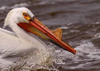 American White Pelican...#4 | by Guy Lichter Photography - Thank you for 2.9M views