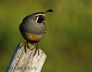 Quail on a diagonal post | by Pat Ulrich
