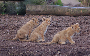 3 small lions | by ingelisesoerensen