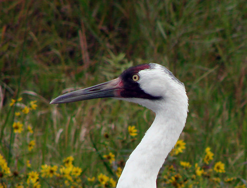 Whooping Crane | by Laura Erickson