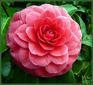 Another Camellia | by res-q-spoo