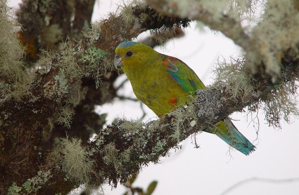 Indigo winged Parrot (Hapalopsittaca fuertesi) Loro Coroniazul Nature Reserve