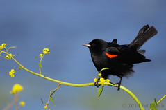 Red-winged blackbird | by Pat Ulrich