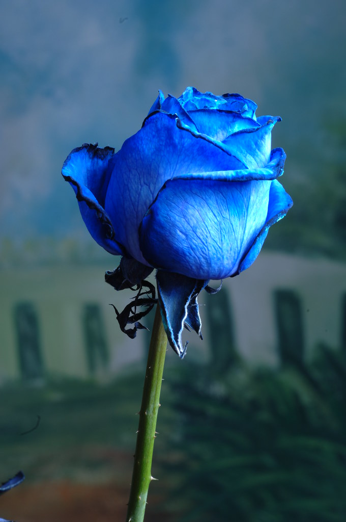 Dsc1807 Blue Rose A Symbol Of Love And Prosperity Flickr
