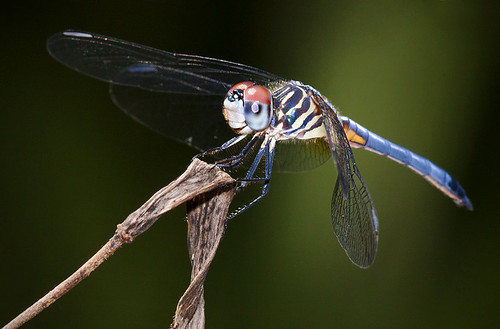 Blue Dasher Dragonfly (Pachydiplax longipennis) | by pedro lastra