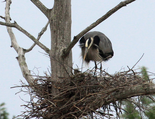Great Blue Heron and chick | by Laura Erickson