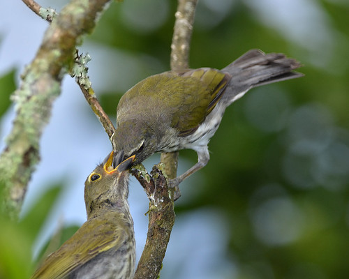 Streaked Saltator - Parent  and Juvenile | by Frank Shufelt