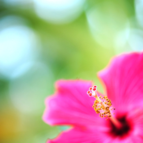 Curious as to how the day would turn out, the little hibiscus bloom decided there was only one way to find out... | by .I Travel East.