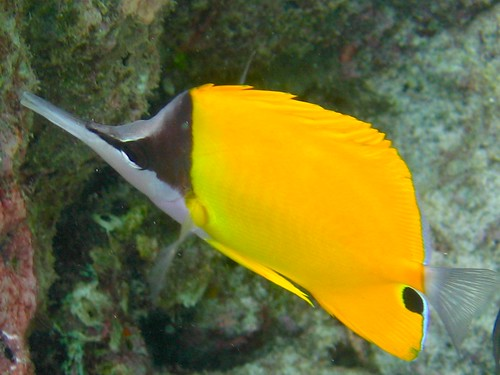 Yellow Longnose Butterflyfish | by ciamabue