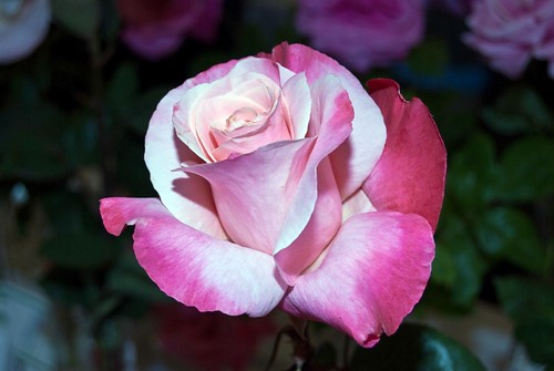"""""""A rose by any other name would smell as sweet"""" 
