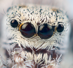 jumping spider 4-6, female -- Salticidae Dendryphantinae Metaphidippus | by bugeyed_G