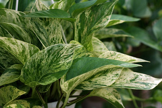 Pothos 'Marble Queen' | by ProBuild Garden Center