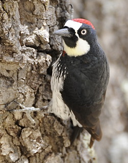 Acorn Woodpecker | by tgypsy_jcs