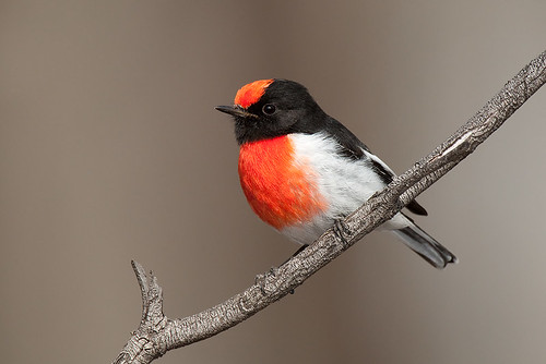 Red-capped Robin | by Jon Thornton