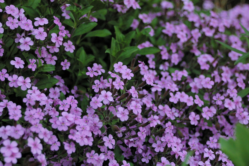 small purple flowers  flower, Beautiful flower
