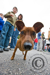 Mini Pinscher Taking A Closer Look | by jimgoldstein