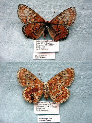 NW70-4 Euphydryas desfontainii | by nymsysgro